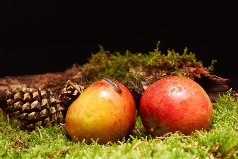 Petit escargot sur la pomme dans la décoration avec les pommes, le cône de pin, une branche et la mousse verte photos libres de droits