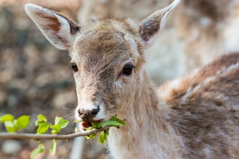 Petit faon mangeant des feuilles image libre de droits