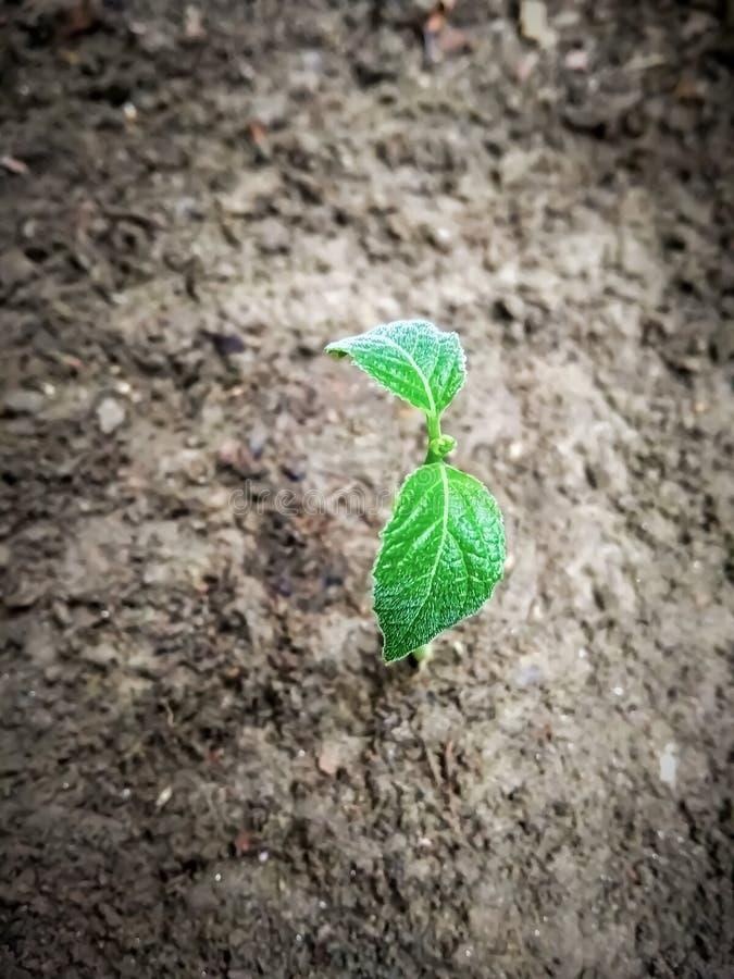 Petit figuier croissant, belle feuille verte avec le sol à l'arrière-plan Plan rapproché croissant d'usine images libres de droits