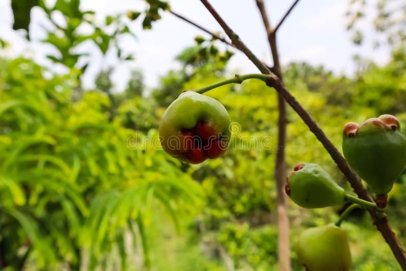 Petit fruit de figue dans la branche de l'arbre photos libres de droits
