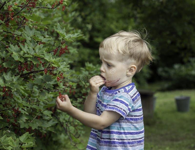 Petit garçon mangeant une groseille rouge dans un jardin photographie stock
