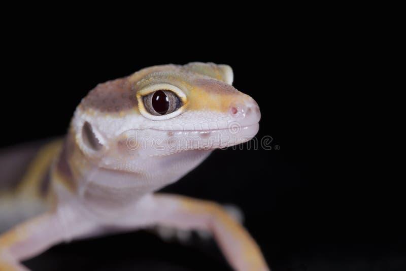 Petit gecko de léopard photo libre de droits
