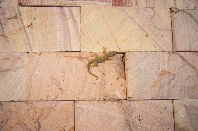 Petit Gray Gecko Lizard photographie stock libre de droits