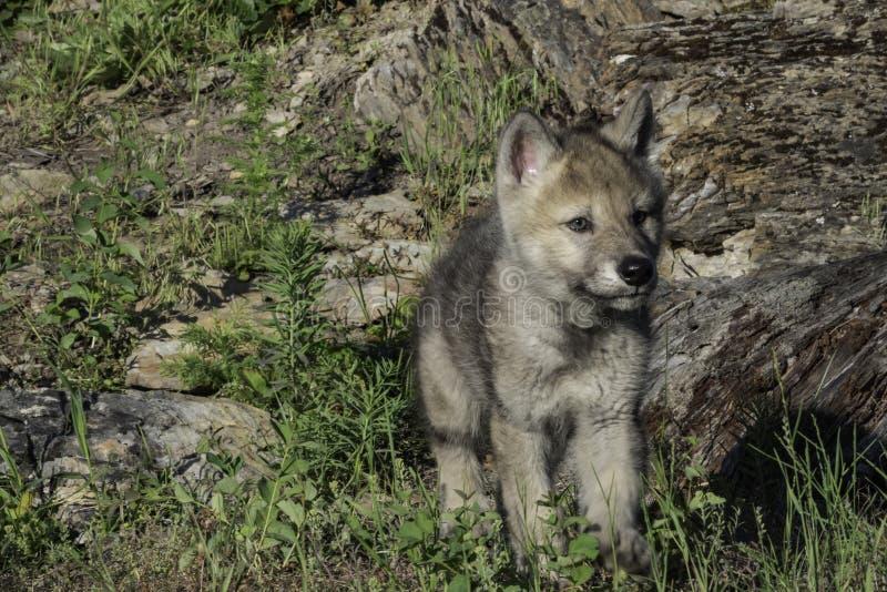 Petit Gray Wolf Pup mignon photo stock
