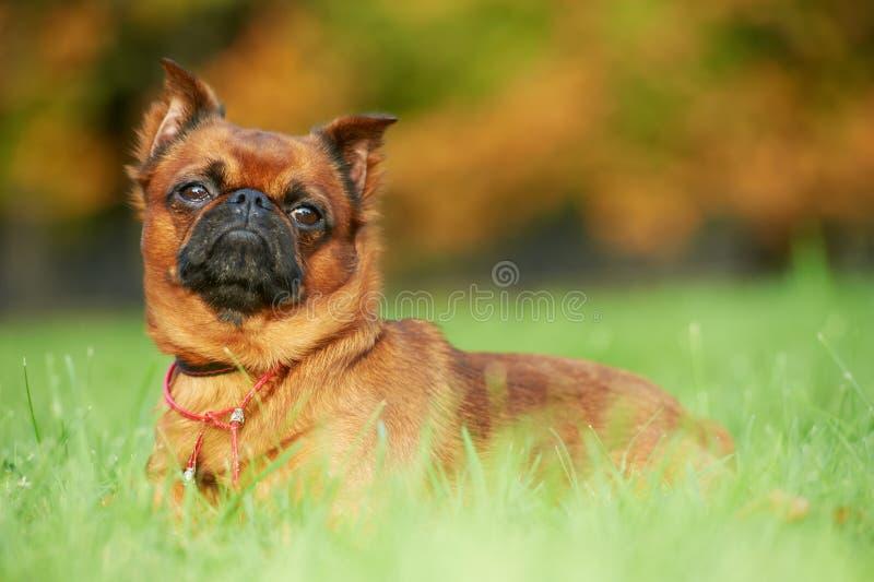 petit griffon för brabanconbrussels hund royaltyfri fotografi