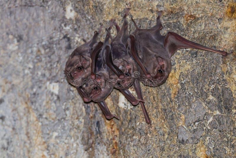 Petit groupe de batte Long-à ailes de tombe ( image stock