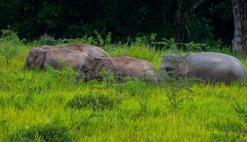 Petit groupe de marche sauvage d'éléphant photos libres de droits