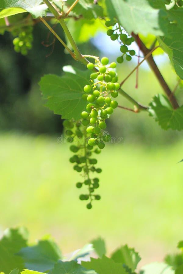 petit groupe de raisins vert au soleil sur le fond des feuilles image stock