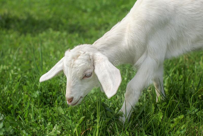 Petit groupe du jeune enfant de chèvre alimentant sur une herbe avec le pré i de ressort photo libre de droits
