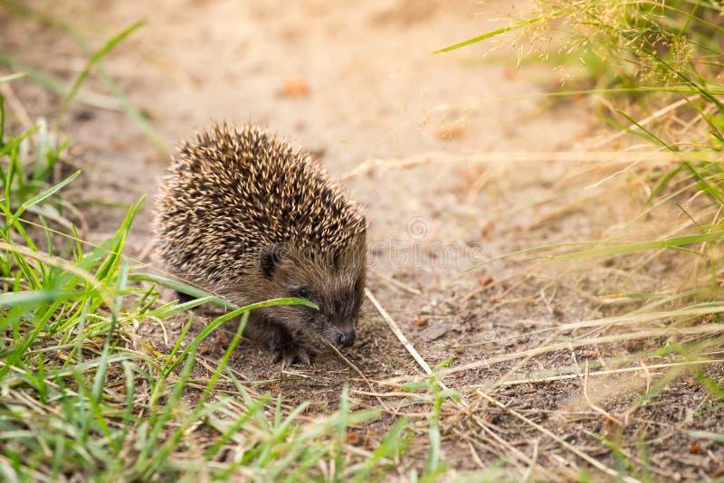 Petit hérisson mignon sur la nature dans l'herbe au soleil photos stock