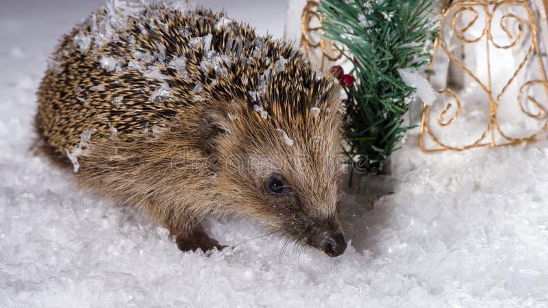 Petit hérisson recherchant le fourrage dans la neige photo libre de droits