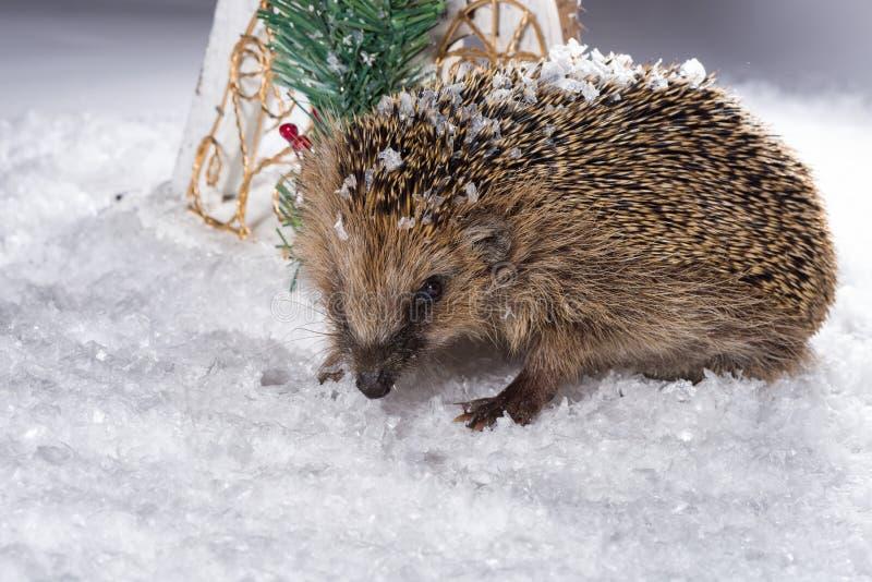 Petit hérisson recherchant le fourrage dans la neige image stock