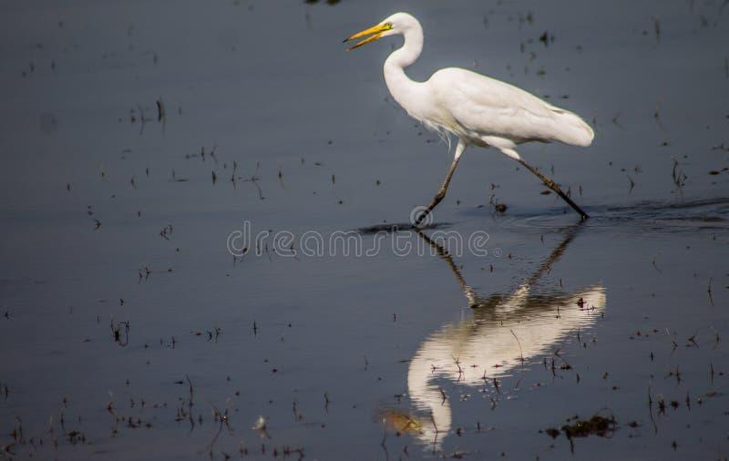 Petit héron dans le fleuve photo libre de droits