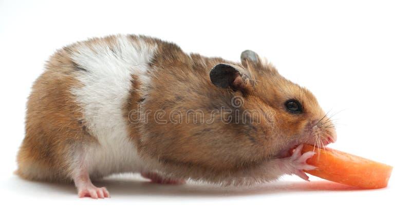 Petit hamster photo libre de droits