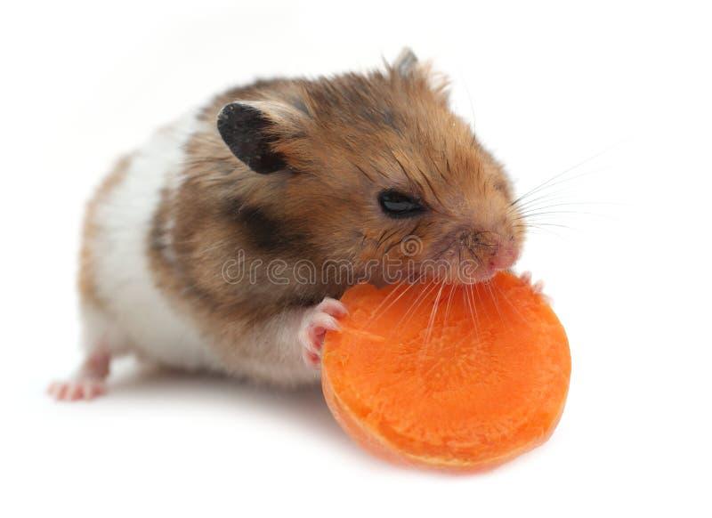 Petit hamster image stock