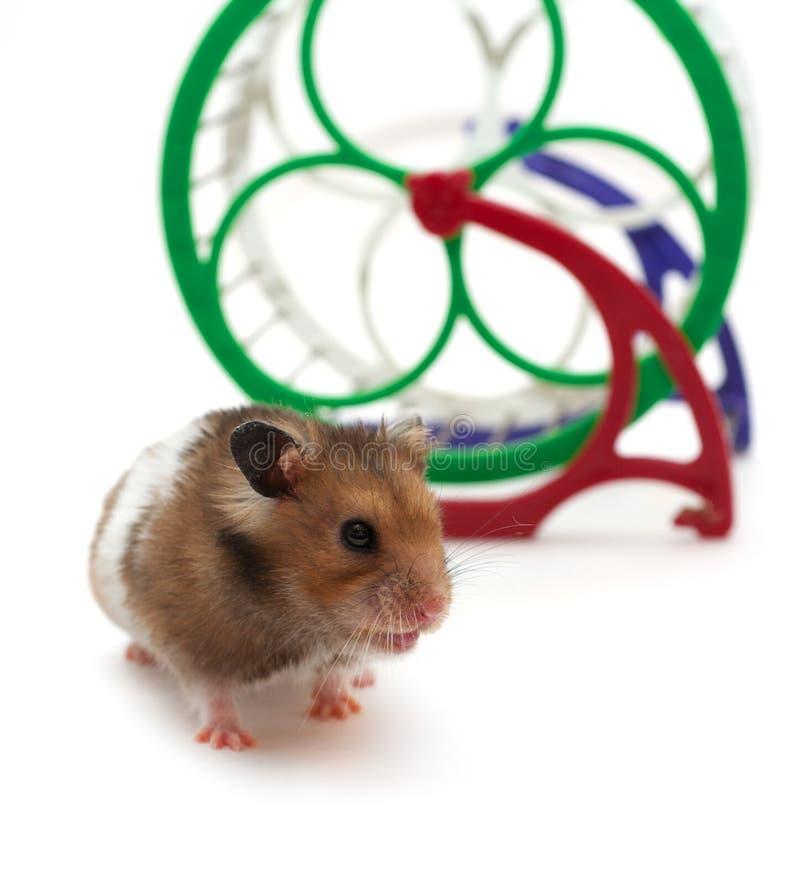 Petit hamster photos libres de droits