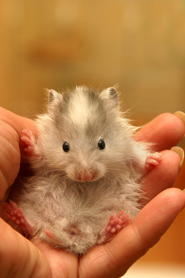 Petit hamster - 7 image stock