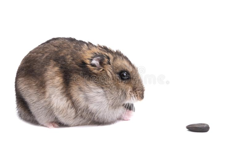 Petit hamster animal d'isolement image stock
