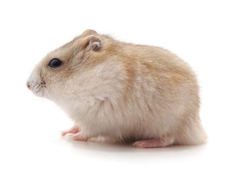 Petit hamster blanc photos stock