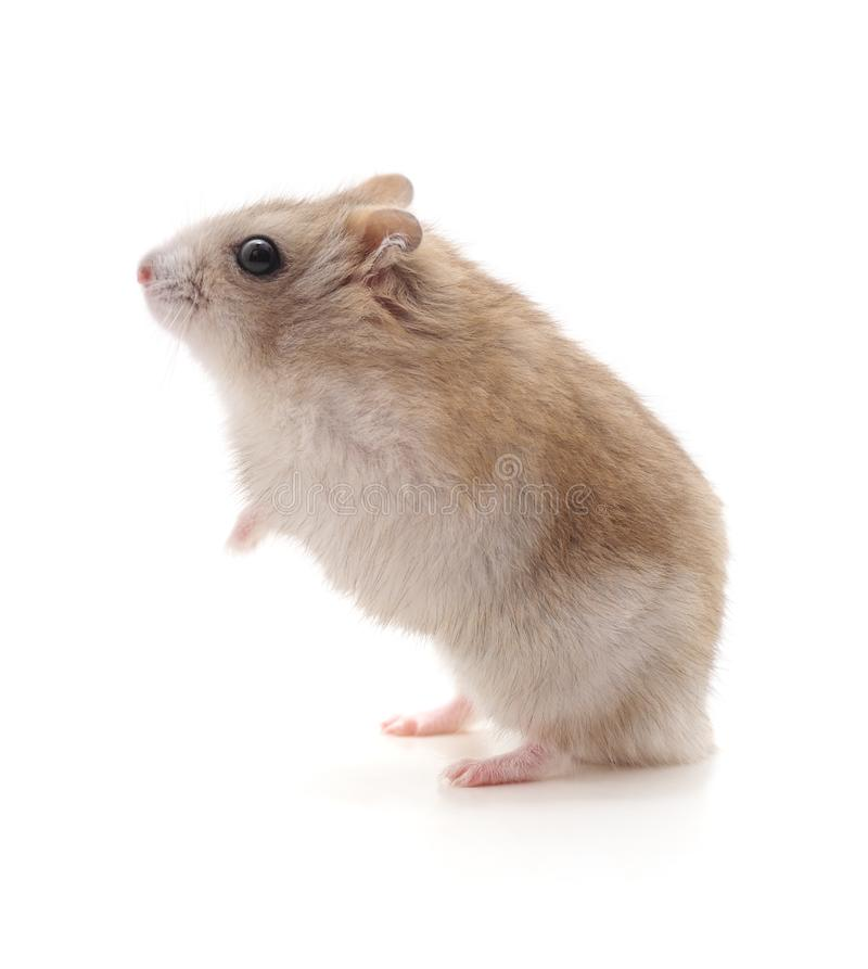 Petit hamster blanc photographie stock