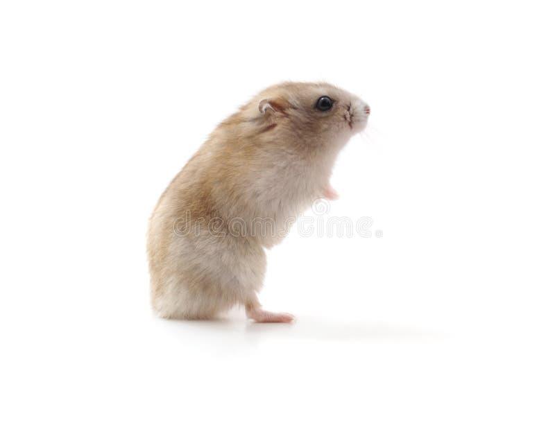 Petit hamster blanc images libres de droits