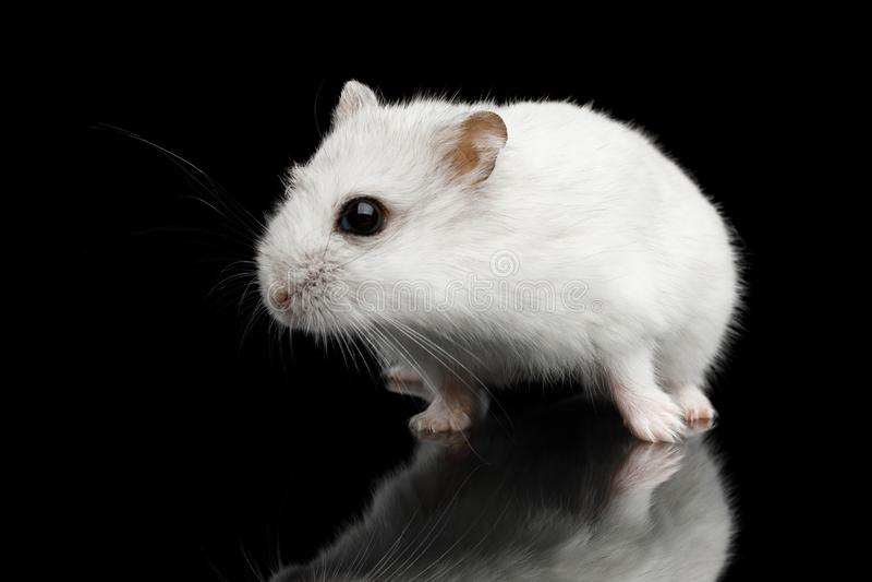 Petit hamster blanc d'isolement sur le fond noir image libre de droits