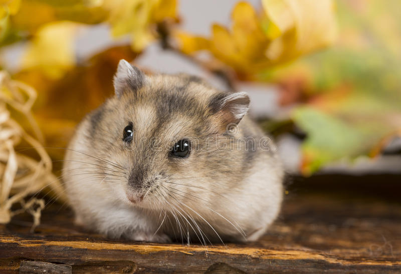 Petit hamster d'animal familier images stock