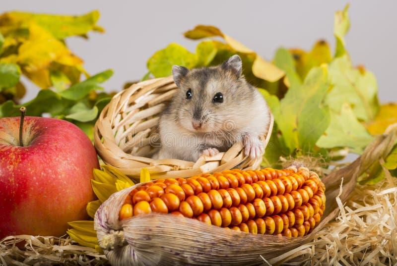 Petit hamster d'animal familier photos libres de droits