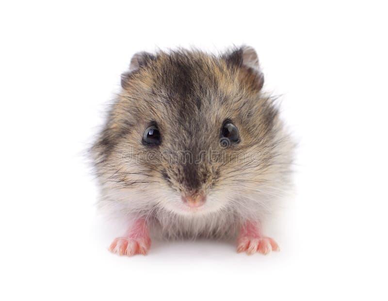 Petit hamster domestique images stock