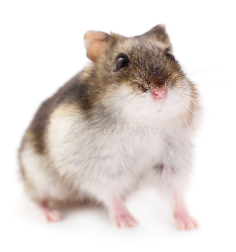 Petit hamster domestique photo stock