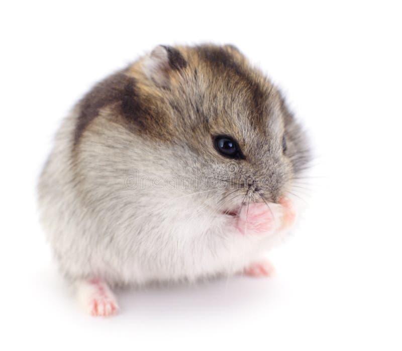 Petit hamster domestique images libres de droits