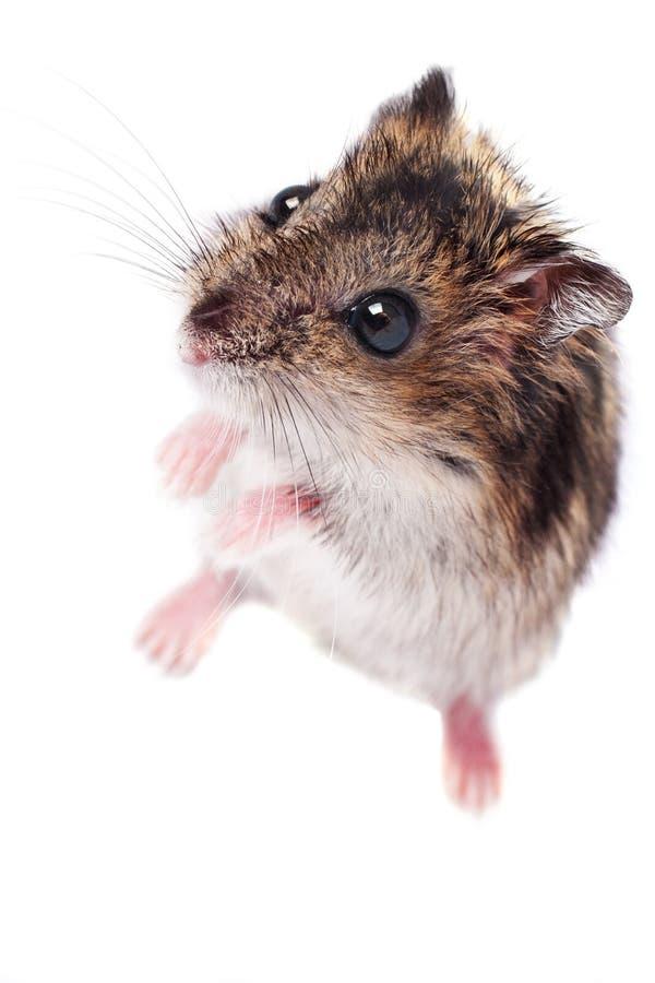 Petit hamster mignon d'isolement sur le blanc photographie stock