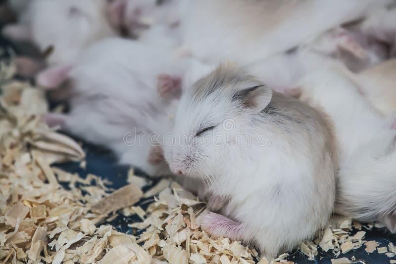 Petit hamster mignon se reposant et dormant photo libre de droits