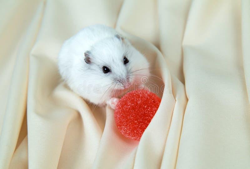 Petit hamster sur un fond clair avec la confiture d'oranges ronde rouge images libres de droits
