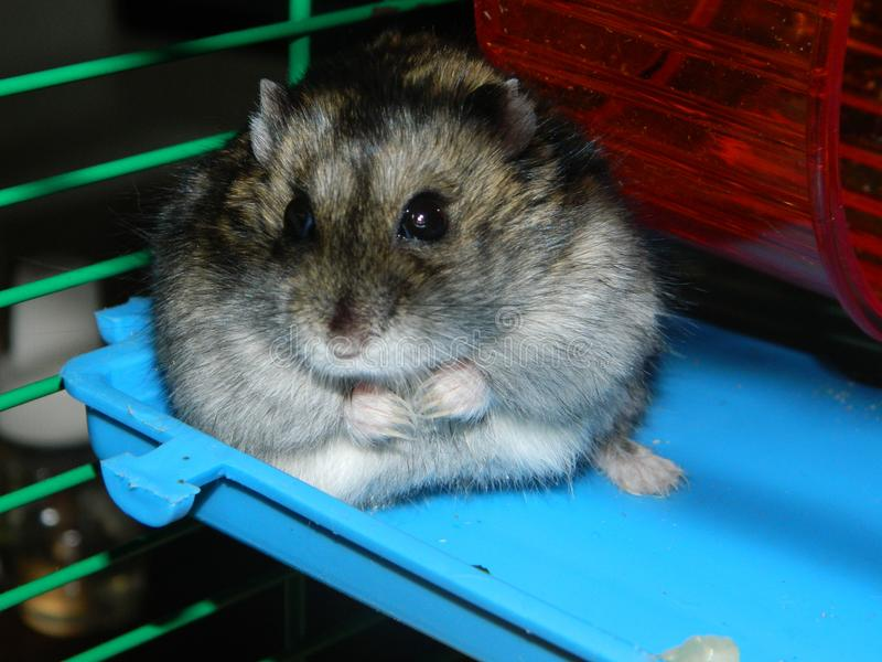 Petit hamster timide photographie stock