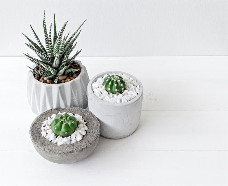 Petit haworthia mignon d'impression de cactus et de zèbre de thème blanc minimal dans des pots de ciment photographie stock libre de droits