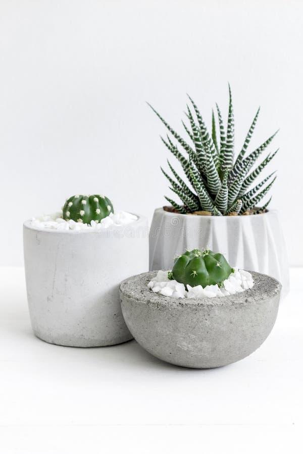 Petit haworthia mignon d'impression de cactus et de zèbre de thème blanc minimal dans des pots de ciment images libres de droits