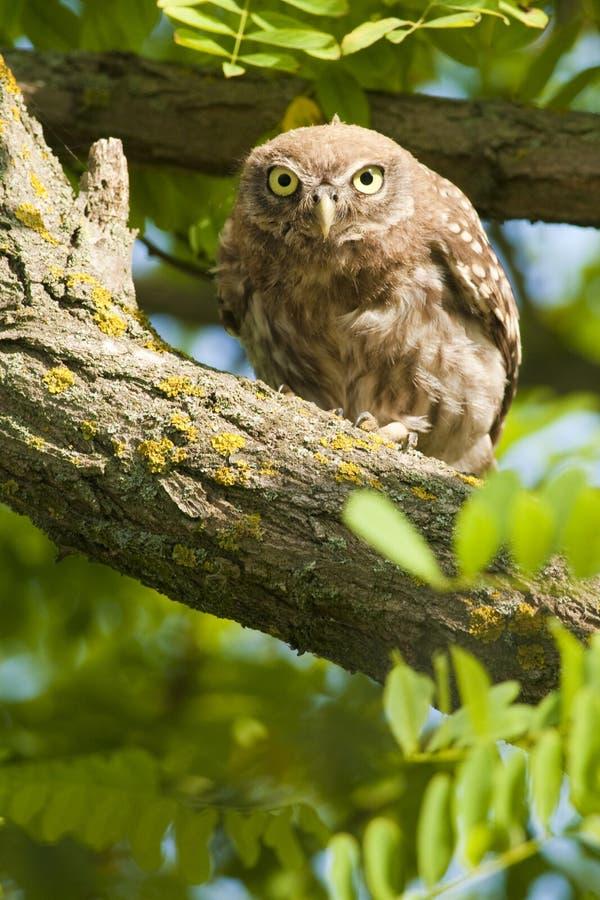 Petit hibou dans un arbre photographie stock libre de droits