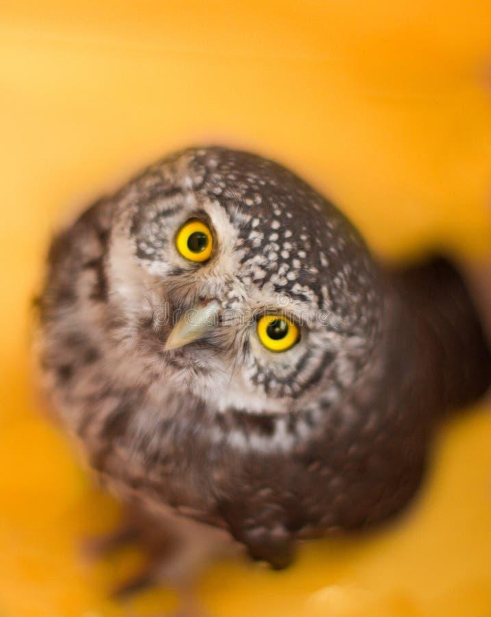 Petit hibou pygméen photos stock