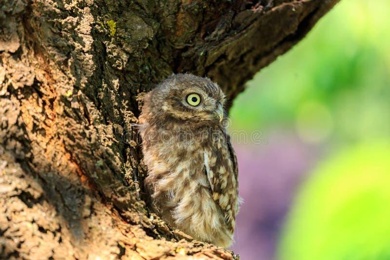 Petit hibou sur un arbre photos libres de droits