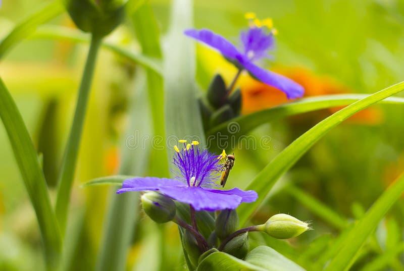 Petit Hoverfly sur la vue de côté de Tradescantia violet de fleur photo stock