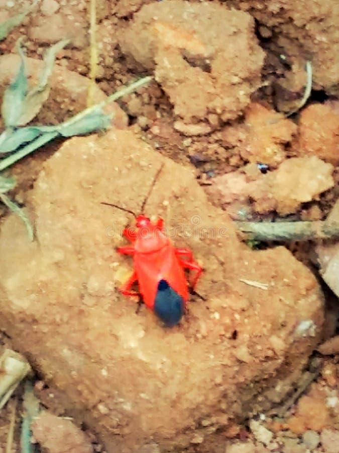 Petit insecte rouge images libres de droits