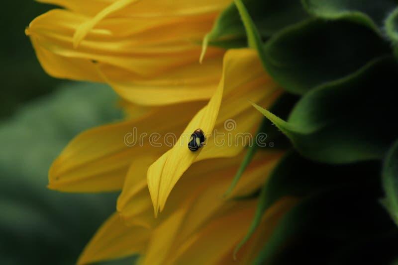 Petit insecte sur le tournesol photographie stock