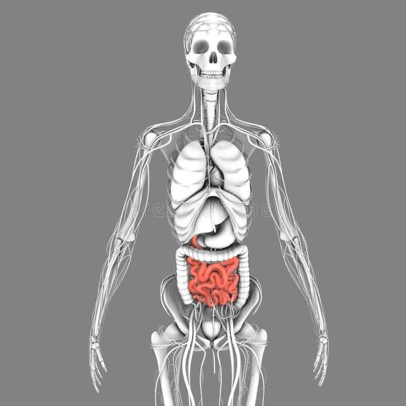 Petit intestin illustration stock