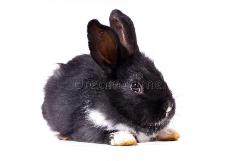 Petit isolat noir de lapin images stock