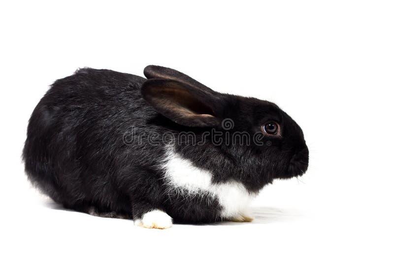 Petit isolat noir de lapin image libre de droits