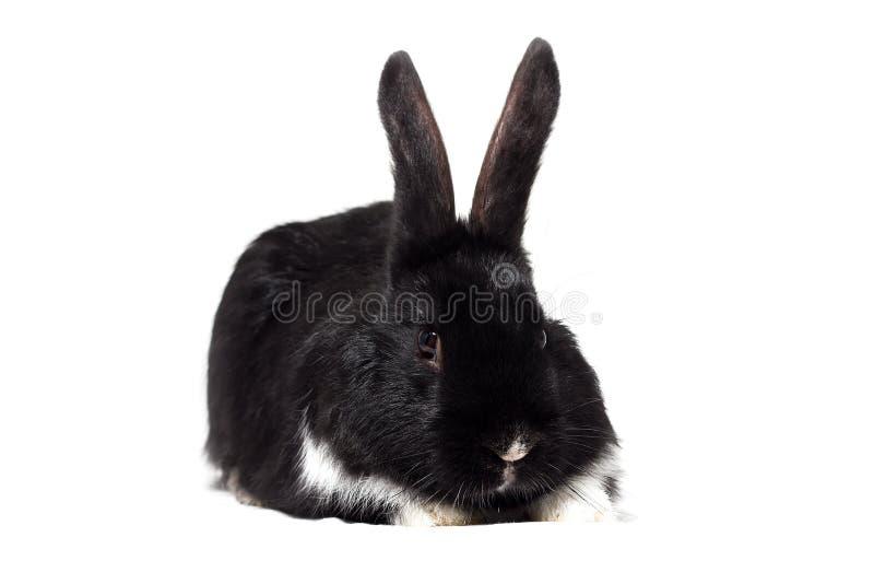 Petit isolat noir de lapin images libres de droits