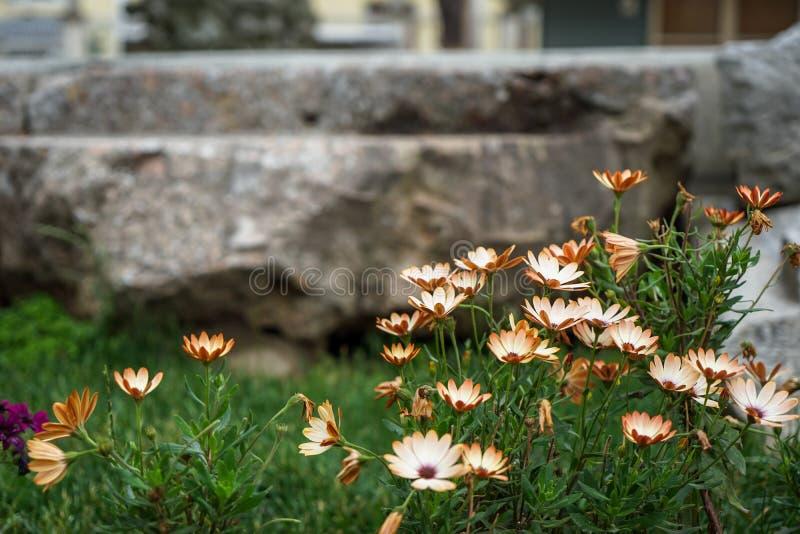 Petit jardin d'agrément sauvage brun clair blanc blanc avec les feuilles de vert, l'herbe brouillée et le fond de mur en pierre,  image stock