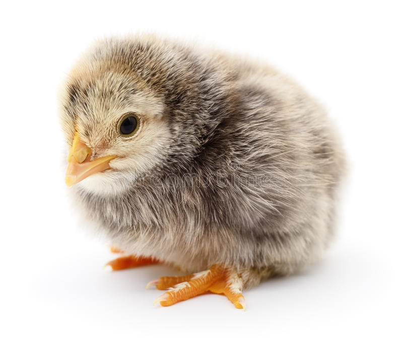Download Petit jaune de poulet photo stock. Image du jaune, studio - 77150844