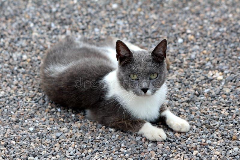 Petit jeune chat domestique mignon blanc et gris se reposant sur le gravier dans l'arrière-cour et regardant curieusement directe photo libre de droits